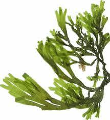 algi.jpg