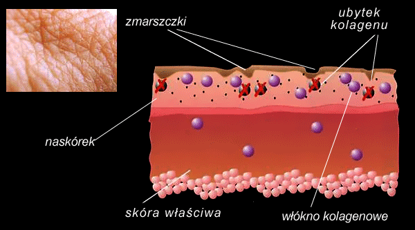 skin-collagen-fibres.png